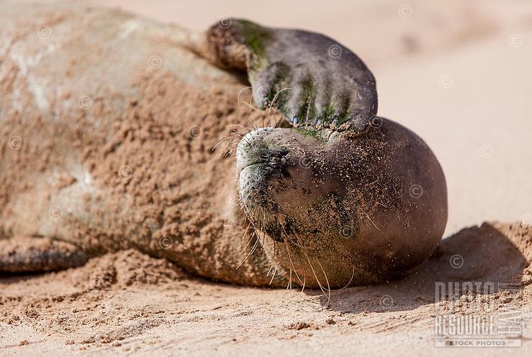 Hawaiian monk seal waking up at Gillin's Beach (part of Maha'ulepu Beach), south shore of Kaua'i