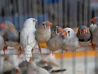Birds to be sold in Amman, Jordan.