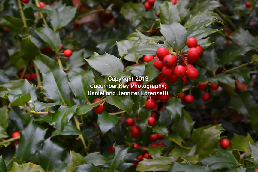 The holly bush (Aquifoliaceae) is characterized by glossy green leaves and bright red berries.