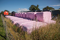 Pink bale wrap sold in aid of beast cancer with a donation to breast cancer charities with every roll sold. Silage bales, Cumbria.