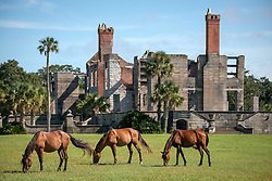 The ferrel horses of Cumberland island in front of Dungeness ruins.