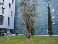 Switzerland. Ticino. Lugano. MASI LAC. Downtown. An olive tree in a coutyard near the newly built (blue wall) LAC Lugano Arte e Cultura, which is the new Arts Centre dedicated to the visual arts, music and the performing arts. 23.05.16 © 2016 Didier Ruef