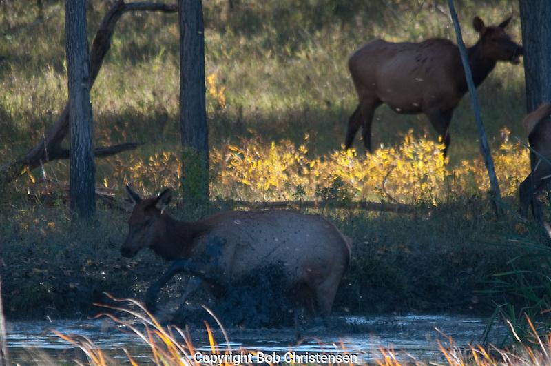 Elk in the Missouri Breaks