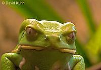 0519-07xx  Waxy Monkey Frog - Phyllomedusa sauvagii - © David Kuhn/Dwight Kuhn Photography