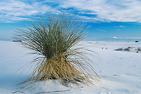 Yucca plant in Sand dunes,White Sands National Monument, New Mexico, USA,