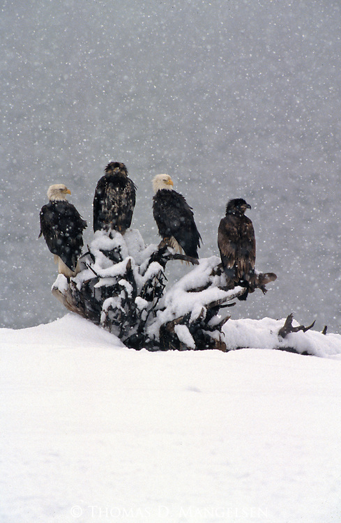 Four eagles perched on driftwood in the snow in Southeast Alaska.