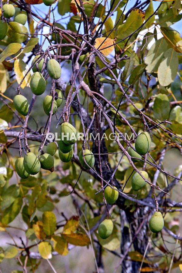Fruta Mangaba. Parque Nacional Grande Sertão Veredas. Minas Gerais. Foto de Adriano Gambarini.