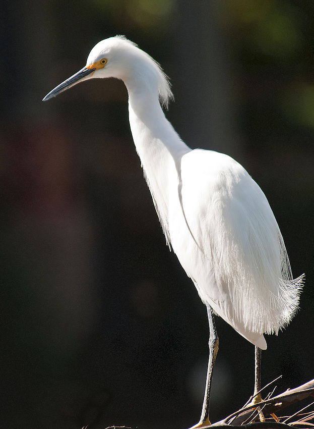Snowy egret photographed at the San Diego Wild Animal Park