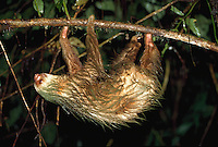 Rare Hoffman's Two-toed Sloth, La Selva Biological Research Station, Costa Rica
