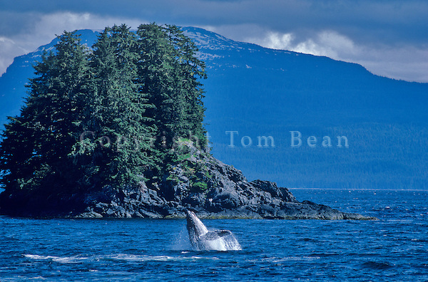 Humpback Whale breaching from waters of Chatham Strait near Kelp Bay, Baranof Island, East of Sitka, Alaska, AGPix_0714.