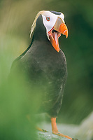 bird, Tufted puffin Fratercula cirrhata adult, Talan Island, Russia, Sea of Okhotsk
