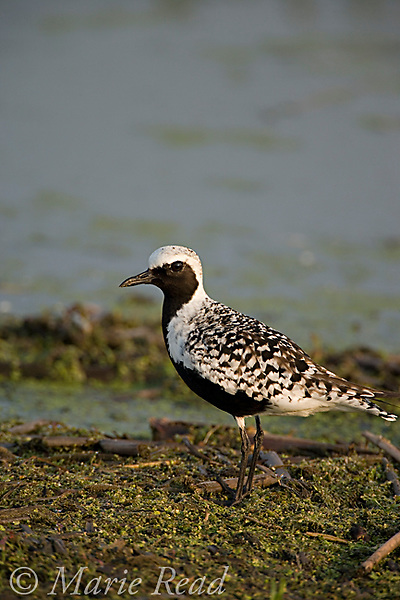 Black-bellied Plover (Pluvialis squatarola) breeding plumage, Montezuma National Wildlife Refuge, New  York, USA
