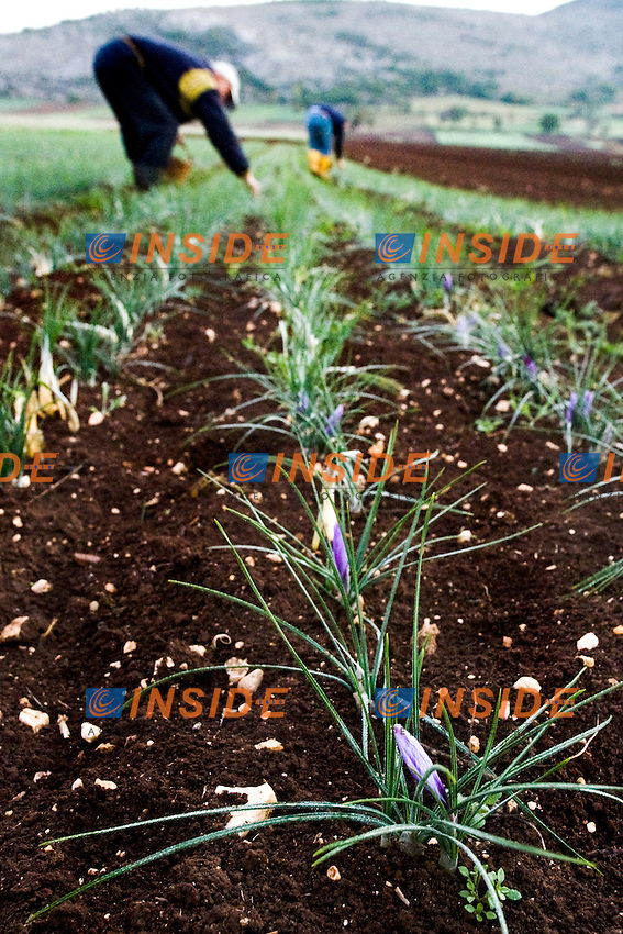 Raccolta del crocus sativus dai cui pistilli o stigmi si ricava lo zafferano..Lo zafferano di Navelli è un prodotto DOP (Denominazione di Origine Protetta)..23/10/2012 Navelli.Foto Antonietta Baldassarre / Insidefoto ..30 Kilometres from the city L'Aquila (Abruzzo, Italy) lies the elevated plain of Navelli which is renowned internationally for its cultivation of world class saffron.The tradition of cultivating saffron in Navelli, alive since the 13th century. Saffron is produced from the stigma of the crocus flower.