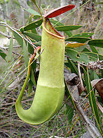 Pitcher Plants (Nepenthes)