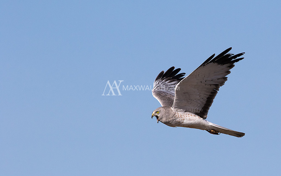This may have been the most cooperative Northern harrier I've ever encountered.  He circled overhead several times.