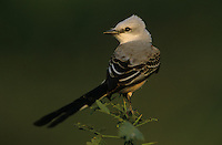 Scissor-tailed Flycatcher, Tyrannus forficatus,female, Starr County, Rio Grande Valley, Texas, USA