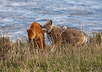 The harsh realities of the wilderness are on full display in spring in Yellowstone's Lamar Valley. This bison calf was separated from its mother when the herd crossed the river. With the herd, it is relatively safe. But on its own, it was just a matter of time. This image captures the first moment of a coyote taking it down. By the next morning, wolves were finishing the event.