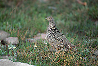 35-B06-PW-114    WHITE-TAILED PTARMIGAN (Lagopus leucurus), Rocky Mountain National Park, Colorado, USA.