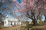 Blooming fruit trees surround St. Xavier Catholic Church and cemetery, Chinese Camp, Calif...Established 1855.