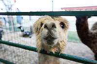 An alpaca greeted visitors of the Woody's Menagerie tent during the SEMO District Fair on Wednesday, Sept. 15, 2010 in Cape Girardeau, Missouri.