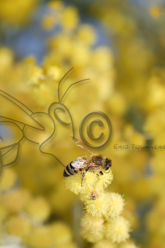 A bee on a Golden wattle (Acacia fimbriata) flower.