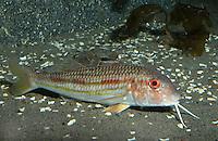 Streifenbarbe, Gestreifte Meerbarbe, Mullus surmuletus, striped red mullet