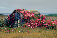Rose covered shack<br />