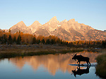 Bull moose walks across the river in the reflection of the Tetons. <br />