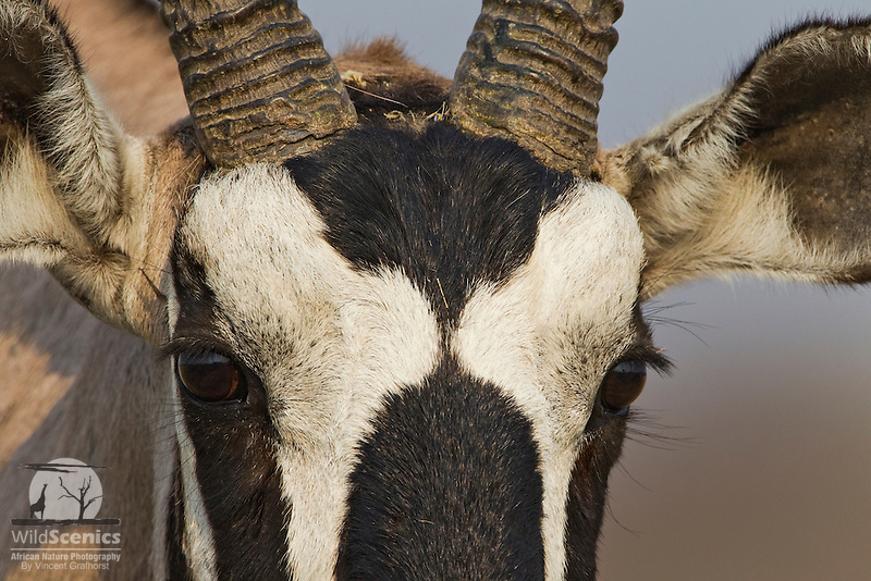 Extreme close-up of a Gemsbok