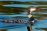 Common Loon, Molting from Breeding to Non-Breeding Plumage, Great Northern Loon, Wolfeboro Bay, Wolfeboro NH
