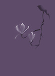 Beautiful blossoming magnolia branch with two white flowers, elegant Zen style artwork based design isolated on purple violet background