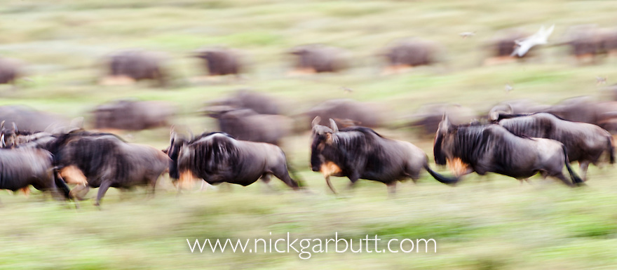 Herd of White-bearded Wildebeest (Connochaetes taurinus albojubatus) with calves, running during the annual Serengeti-Masai Mara migration. Near Ndutu, Ngorongoro Conservation Area, Serengeti Ecosystem, Tanzania.