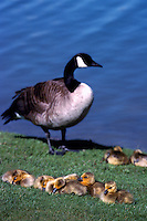 Canada Geese (Branta canadensis) - Canada Goose Parent Bird watching over Gaggle of Young Goslings
