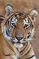 684080058 a juvenile wildlife rescue siberian tiger panthera tigris altaicia rests near his enclosure at a wildlife rescue facility - species is highly endangered in the wild - mungar