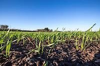 Winter wheat plants - Lincolnshire, November
