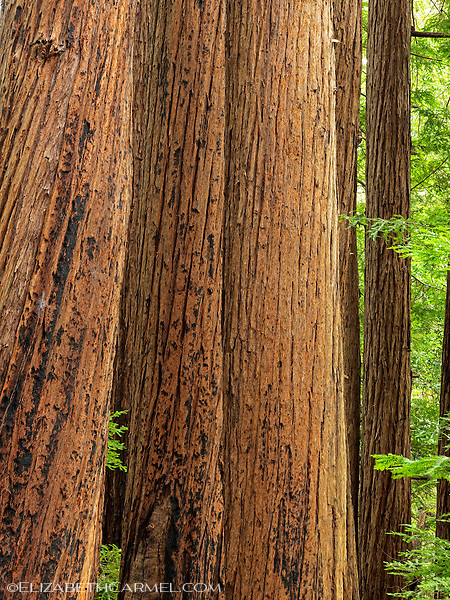 Big Sur Redwoods