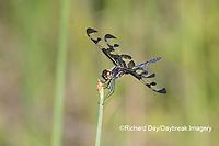 06580-00216 Banded Pennant (Celithemis fasciata) male Washinton Co. MO