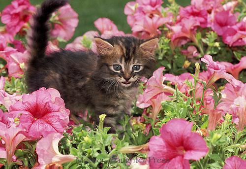 Tabby kitten in pink petunias