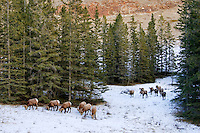 Rocky Mountain Bighorn Sheep (Ovis canadensis) rams