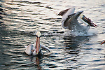 Pelicans with their meals, stolen from the remains at a fish cleaning station.  Tarpon Springs, Florida, USA.