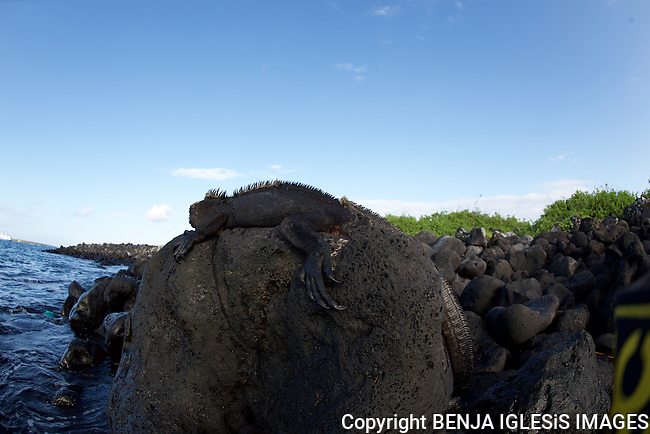 marine Iguana over a rock in the early morning at carola beach Galapagos