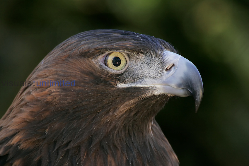 Golden Eagle ,Aquila chrysaetos,