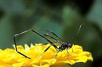 1W18-001c  American Pelecinid - Pelecinus polyturator - parasite of the mayfly beetle larva, note ovipositor