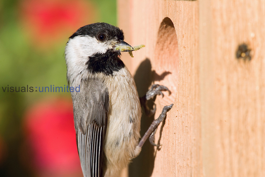 Carolina Chickadee at its nest box with a caterpillar in its bill (Poecile carolinensis), Eastern North America.