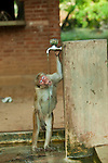 An eight year old female toque macaque, named Dolta and from group D1 ( assigned by the Smithsonian research institute), drinks water from a tap. This group of monkeys has learnt to turn taps on for an easy water source. Archaeological reserve, Polonnaruwa, Sri Lanka. IUCN Red List Classification: Endangered