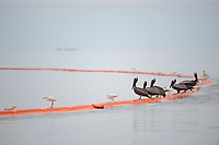 Adult Brown Pelicans and Snowy Egrets feeding on fish trapped by an oil boom. Mobile County, Alabama. July 2010.