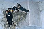 2977-FE Barn Swallow feeding chicks, Riparia riparia riparia, at Minnesota Landscape Arboretum