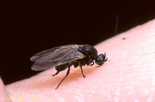 FS05-009z  Black Fly adult biting human, Maine - Stegopterna mutata.