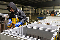 Sopheap Mom, 33, and others sort live lobsters at Island Seafood's receiving facility in Eliot, Maine, USA, on Wed., Jan. 31, 2018. Brake has been working at Island Seafood for almost 12 years. Lobsters are sorted into similar sizes and then moved to a packing facility to be shipped to customers around the world.