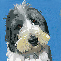 Portrait of Bearded Collie dog ExclusiveImage